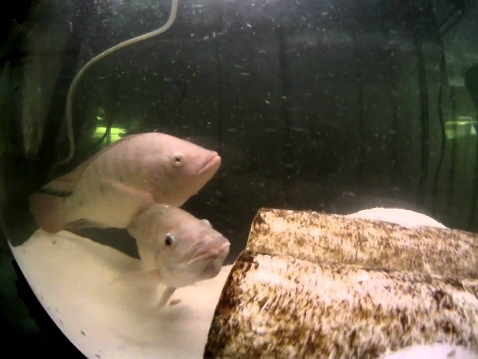 Female tilapia with eggs in her mouth youtube for Tilapia not real fish