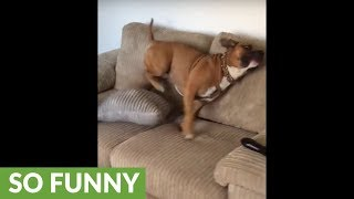 Dog displays excitement for walk in peculiar way