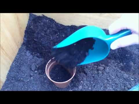 How to germinate Wisteria seeds
