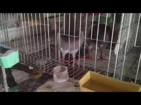 [Thuan Lee] Chuồng nuôi chim bồ câu Pháp ở Thái Bình