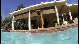 my yellow lab in the pool