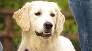 Snowy - Golden Retriever - 2 Week Residential Dog Training At Adolescent Dogs