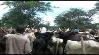 Vaccination des bovins à Yagoua