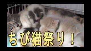 【猫好き】ちび猫祭り!(スコティッシュフォールド)《funny cats》