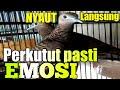 Suara Panggilan Perkutut Lokal Agar Mau Bunyi  Mp3 - Mp4 Download