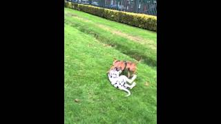 Dogs Playing ( Sasha Staff X Bull Dog And Alfie ( Dalmatian ) Best Of Friends :)