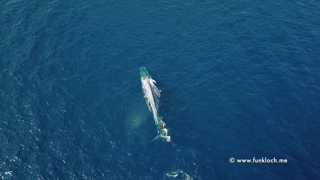 Blue whale - Whale and Dolphin Conservation