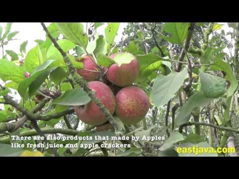 Poncokusumo Village - Apple Farm Tour In Malang East Java