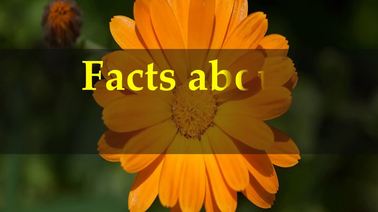 Facts About Calendula Flowers Youtube