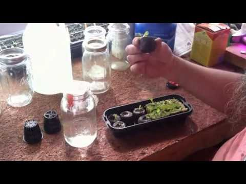 Cheap Homestead Mason Jar Hydroponics