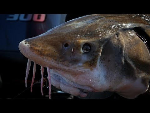 """Rainy River Sturgeon"" In Depth Outdoors Season 9, Episode 20"