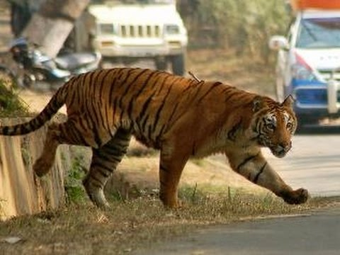 Tiger Escapes From Enclosure Nehru Zoological Park Captured