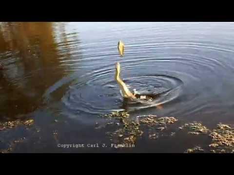 Hand feeding Diamond back water snakes