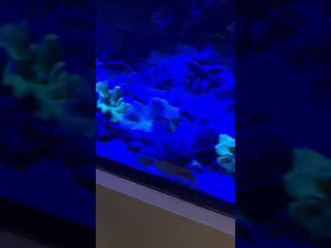 Longnose Batfish In The 720 Reef
