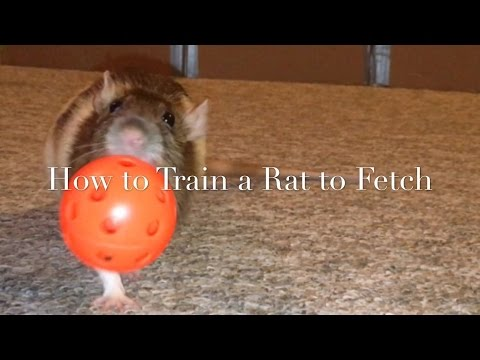 How to Train A Rat to Fetch (New)
