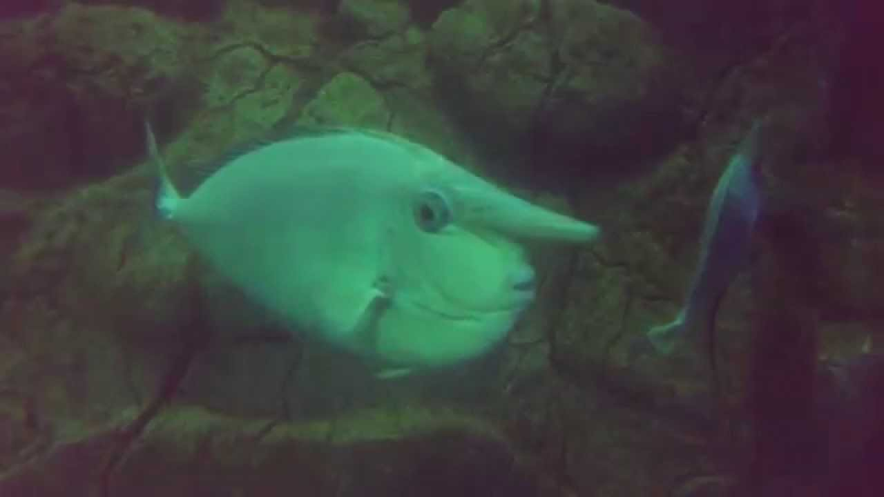 Big nose fish youtube for Big nose fish
