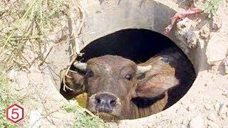 Takut dipotong, Sapi ini ditemukan Sembunyi Terjerembab di Lubang Selokan