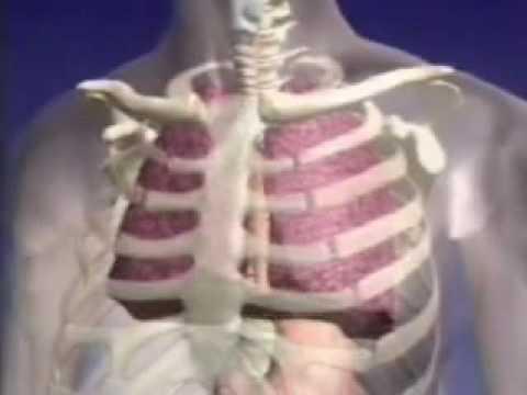 Como funcionan los pulmones - YouTube