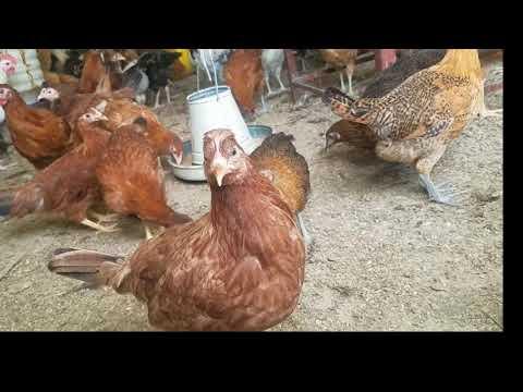 Desi andon ka karobar/GoldEn misri Eggs business - Video
