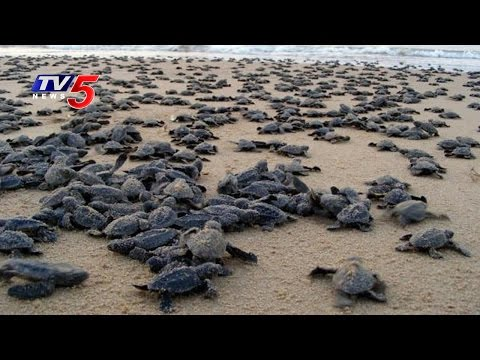 Hundreds Of Dead Olive Ridley Turtles and a Dolphin Washed Ashore At Puri Beach | TV5 News