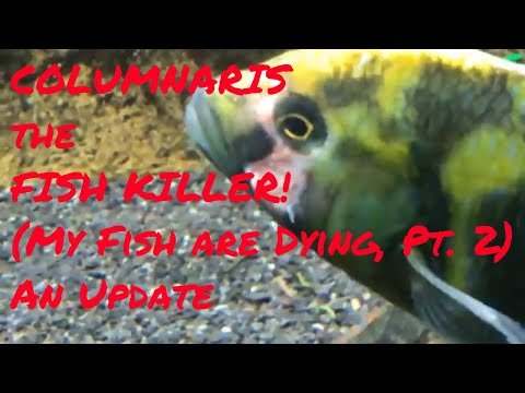 Columnaris The Fish Killer! (My Fish Are Dying! Part 2) - An Update