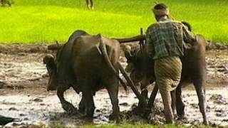 Ploughing paddy field with buffalos, Kerala - Sound effects