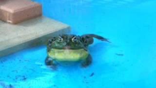 Giant African Bullfrog outdoor croak