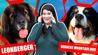 LEONBERGER VS BERNESE MOUNTAIN DOG