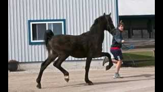 SOLD Dutch Harness Horse Stallions offered at Great Canadian Sale 2013
