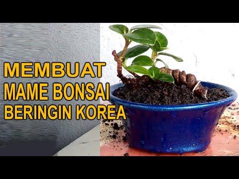 Membuat Mame Bonsai Beringin Korea