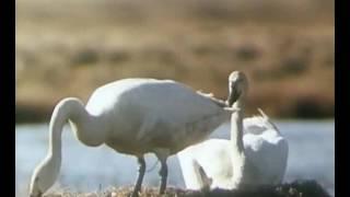 Малый лебедь. В объективе животные 1985г.