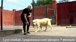 Щенок алабая, среднеазиатская овчарка, подросток, сука 7 мес. www.r-risk.ru +7 9262205603 Татьяна