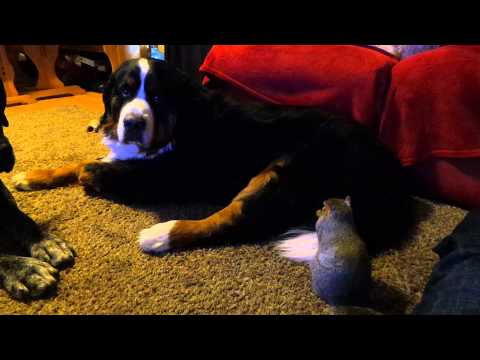 Squirrel hides Cheezits in Bernese Mountain Dog's fur.