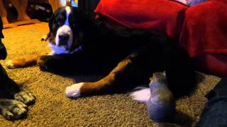 Repeat youtube video Squirrel hides Cheezits in Bernese Mountain Dog's fur.