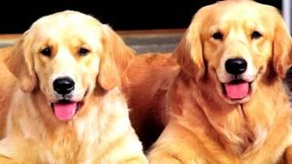 Порода собак.  Золотистый ретривер. Уникальная порода собак