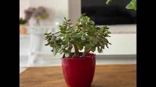 Aprenda a Fazer a Renovação da Planta Jade – Se a Sua Não Está Bonita Está na Hora de Renová-la