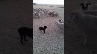 Овцы наехали на собаку пастушку!