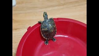 [거북이 키우기] 거북이가 탈출하다 뒤집히면? 탈출본능…
