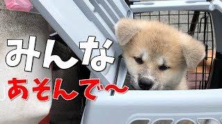 秋田犬の赤ちゃん、らんぷちゃんは怖いもの知らずで、誰にでもフレンド...