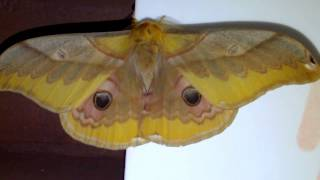 Japanese Giant Silkworm Moth Displaying Eyespots at Night クスサン♂♀(蛾)眼状紋による威嚇【暗視映像】