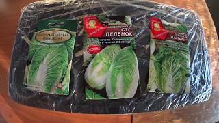Пекинская капуста.  Посев семян на рассаду,  хитрости выращивания.