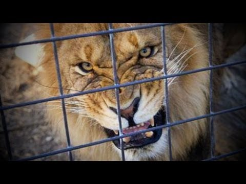 LIONS TIGERS Escape! Ohio...Freedom to die