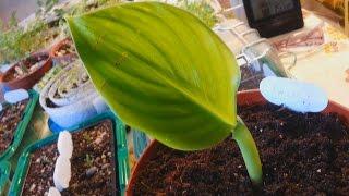 Банан из семян. Скорость роста