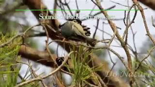 #birdidsounds: Parus ater, Coal tit (UK), Синиця чорна (UA) Московка (RU)
