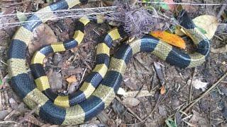 lưới bẫy rắn dính cạp nong khủng#152