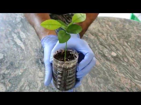 how to grow lemon seeds youtube