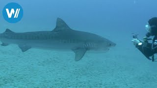 Cocos Island - Insel der Haie (360° - GEO Reportage)