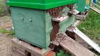 Вывод пчёл из жёсткого роевого состояния на 100%. Искусственное роение пчёл.  Все подробности