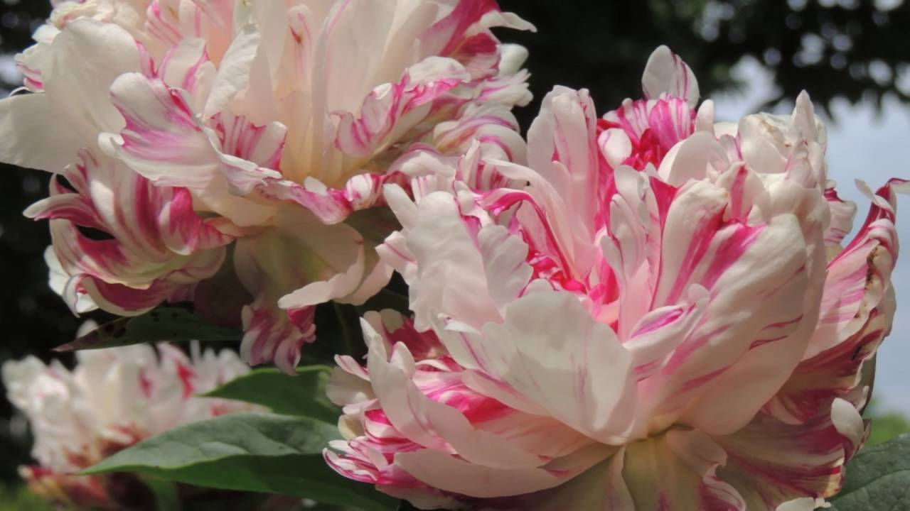 Beautiful Peonies Spring Flowers Of My Garden Relaxing Music 6