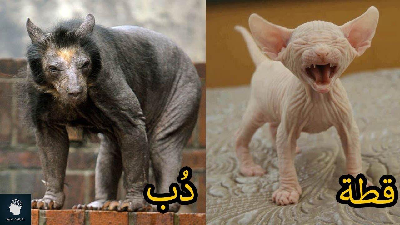 12 حيواناً لطيفا ًيتسموا بالقباحة في حالة إزالة شعرهم | شاهد اشكال الحيوانات بدون شعر ..!!